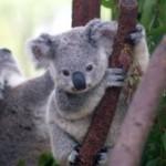 ZOOM Talk by Dave Carr to NPA on Koalas