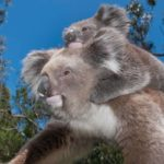 March Forum: David Carr on protecting New England koalas