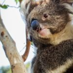 Inquiry into Koala habitat – a chance to have a say