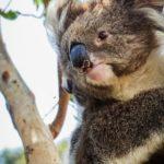Koalas in the Spotlight — Southern New England Landcare Walcha