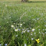Drummond Park meadow in flower