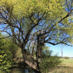 CLIMATE MATTERS: Willows — friend or foe?