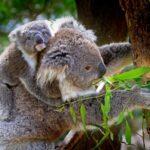 Koala Management Plan