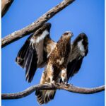 VIDEO: September Forum — Focus on protection of New England's threatened birds of prey